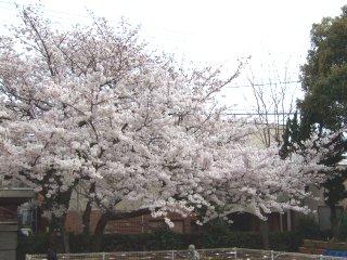 Sakura04091