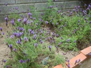 Lavender04242
