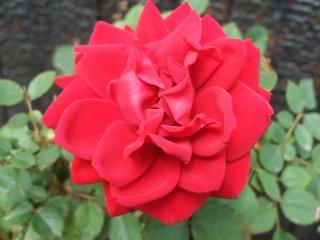 Rose0528