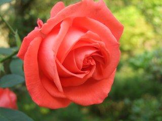 Rose0611