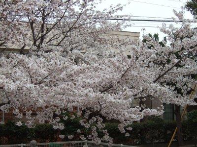 Sakura04081