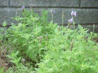 Lavender1104