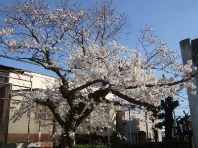 Sakura0406