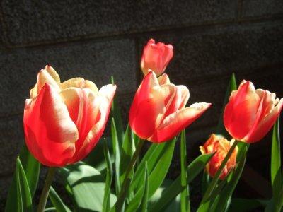 Tulip0420