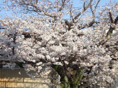 Sakura0329