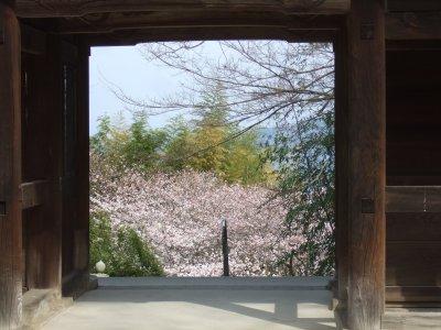 Sakura0405