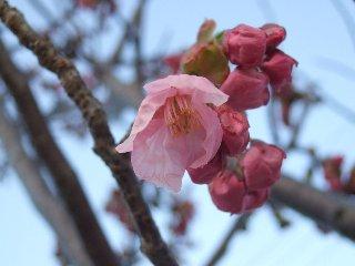 Sakura032302