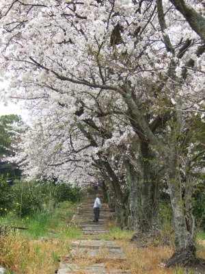Sakuratera04111