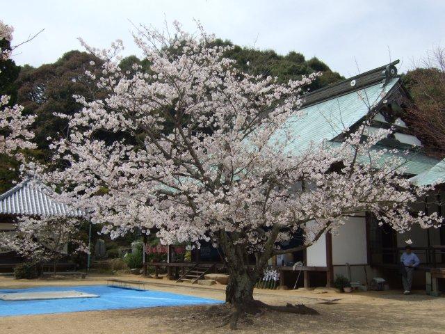 Sakuratera04112_1